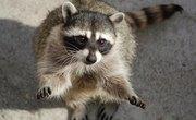 How to Identify Raccoon Poop