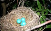 How Long Does it Take for Robin Eggs to Hatch?
