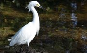 How to Tell the Difference Between a Male and Female Snowy Egret