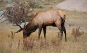 What Time of Year Do Elk Shed Their Antlers?