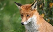 How to Tan a Fox Fur