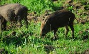 Boar Hunting in Wisconsin