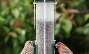 Finches of California