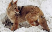 How to Make Instant Homemade Coyote Traps