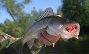 Where Can I Purchase Live Walleye Fingerlings for Stocking My Pond?