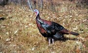 Roosting Habits of Wild Turkeys