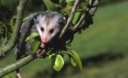 How to Clean a Possum