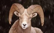 How to Cape a Sheep for Taxidermy