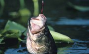 How to Tell the Difference Between a Male Bass & a Female Bass