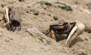 How to Catch Fiddler Crabs for Bait