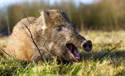 Hog Hunting Regulations in Texas