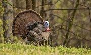 How to Catch a Wild Turkey