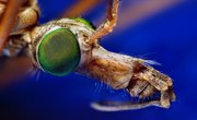 What Is a Crane Fly?