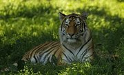 What Kind of Ecosystem Do Tigers Live In?