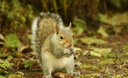 Squirrel Life Cycles