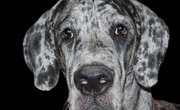 How to Build a Doghouse for a Great Dane