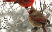 Why Do Male Cardinals Feed Female Cardinals?