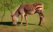 Zebra Breeding Facts