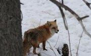 How to Identify Animal Tracks of a Fox