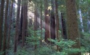 The Average Height of Redwood Trees