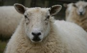 The History of Sheep Shearing