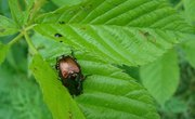 What Is a June Bug & Japanese Beetle?