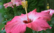What Are the Adaptations of the Hibiscus Plant?