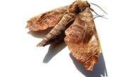 Life Span of Brown House Moths