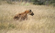 What Are the Predators of African Wild Dogs?