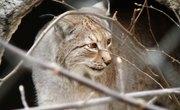 How to Repel a Bobcat