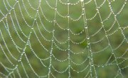 Information on the Palm Spider