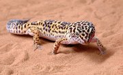 Types of Geckos in Arizona