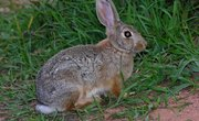 Cottontail Life Cycle