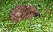 What Is the Natural Habitat of a Hedgehog?