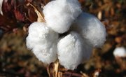 How Has the Cotton Plant Adapted to Survive?