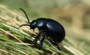 How to Identify Black Beetles in Northeastern USA