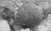 Facts About Brain Coral