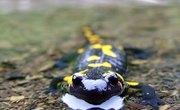 Salamander Characteristics