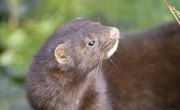 Differences Between Minks & Weasels