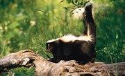 When Is Skunk Mating Season?