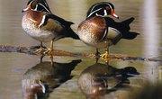 How Do Ducks Mate?