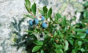 How to Identify Edible Berries