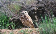 The Biome and Ecosystem of the Burrowing Owl