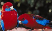 What Do Rosellas Eat?