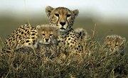Biotic Factors for a Cheetah