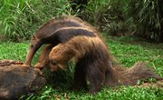 Five Physical Adaptations for Anteaters