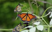 How to Tell the Difference Between a Monarch & a Viceroy Butterfly