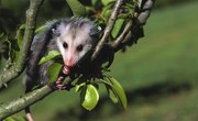 The Dangers of Opossums
