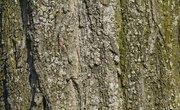 Symbiotic Relationships Between Trees & Lichens