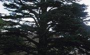 Cedar Vs. White Cedar